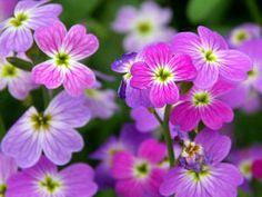 Flores ornamentales: Alhelí de Mahón (Malcolmia maritima / Cheiranthus…