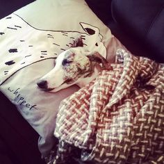 Beck the whippet snuggles on west elm's Whippet Pillow — drawn by Gemma Orkin. #mywestelm