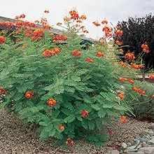 Ideas red bird of paradise plant arizona for 2019 Tropical Garden, Plants, Paradise Plant, Garden Shrubs, Cacti And Succulents, Shrubs, Outdoor Plants, Birds Of Paradise Plant, Landscaping Plants