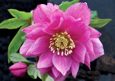 Helleborus  Berry Swirl  ---  A double orchid pink hellebore. Likes good drainage in fertile, humus rich soil. z. 5-8