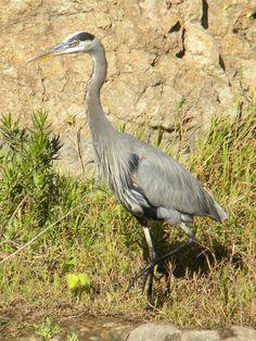 Great Blue Heron. #heron #bird #birds