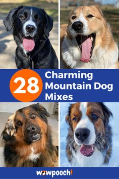 28 Charming #Mountain #Dog #Mixes – Find the Perfect #Mountain #Dog #Mix. Corgi Bernese Mountain Dog Mix. Boxer Bernese Mountain Dog Mix, Husky Bernese Mountain Mixes, Poodle Bernese Mountain Mixes, German Shepherd Bernese Mountain Mixes, Beagle Bernese Mountain Mixes, Labrador Bernese Mountain Mixes, Border Collie Bernese Mountain Mixes,  Australian Shepherd Bernese Mountain Mixes, Cocker Spaniel Bernese Mountain Mixes, Akita Bernese Mountain Mixes, Golden Retriever Bernese Mountain Mixes. Most Cutest Dog, Big Dog Little Dog, Pet Shed, Best Guard Dogs, Dog Crossbreeds, Wild Animals Pictures, Dog Mixes, Mountain Dogs, Working Dogs