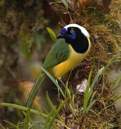 Inca Jay - Cyanocorax yncas - This New World jay species is of the family Corvidae. It is endemic to the Andes of South America, from Colombia and Venezuela through Ecuador, Peru and Bolivia