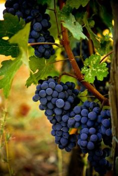 grapes, grape vines