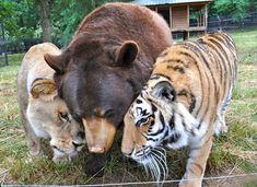 Historia de amistad entre un oso, león y tigre