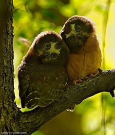 Two Funny Owls Picture
