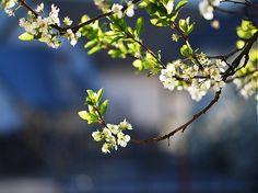 klaura / Keď kvitne jar