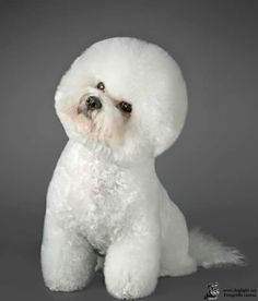 Tootsie This is Tootsie, a Bichon Frise girl. The character of these dogs is rea. - Tootsie This is Tootsie, a Bichon Frise girl. The character of these dogs is really special and dis - Cute Dogs Breeds, Cute Dogs And Puppies, Dog Breeds, Doggies, Bichon Dog, Teacup Chihuahua, Cortes Poodle, Jiff Pom, Puppy Cut