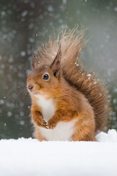 red squirrel - Google Search