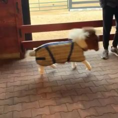 How cute is this miniature pony🥰 - Welpen Tiny Horses, Cute Horses, Beautiful Horses, Animals Beautiful, Cute Little Animals, Cute Funny Animals, Cute Dogs, Cute Animal Videos, Cute Animal Pictures