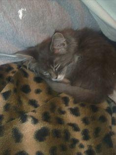 Maine Coon Katze Nero schläft Maine Coon, Cats, Animals, Maine Coon Cats, World, Kunst, Gatos, Animales, Animaux