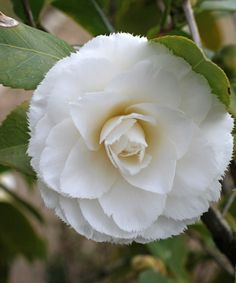 Camellia japonica 'Fimbriata' (Imported from China to Europe in 1816)