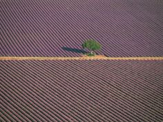 lavender feilds France