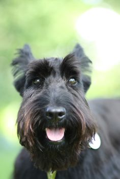 beautiful scottie dog. one day I will have a Charlie!                                                                                                                                                                                 More
