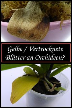 Yellow leaves on orchids? No panic! Do you have yellow or dried leaves on your orchids? No panic! Find out what you can do here! The post Yellow leaves on orchids? No panic! appeared first on Plant Ideas. Garden Care, Container Gardening Vegetables, Vegetable Garden, Garden Trellis, Garden Plants, Potted Plants, No Panic, Terrariums Diy, Hair Rainbow