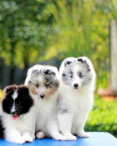Shetland sheepdogs puppies, colours - bi black, blue merle, and bi blue www.grandalexander.com