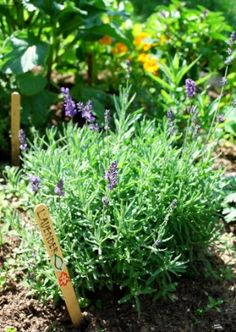 The edible flower garden.