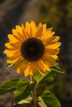 Girasol// Falsas riquezas Sunflower Garden, Sunflower Flower, Sunflower Tattoos, Sunflower Fields, My Flower, Flower Power, Flower Iphone Wallpaper, Sunflower Wallpaper, Flower Backgrounds
