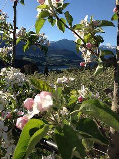 lo spettacolo dei #meli in #fiore!