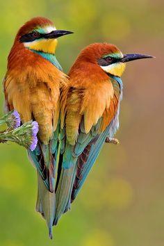 New Wonderful Photos: European Bee-eater, Merops Apiaster