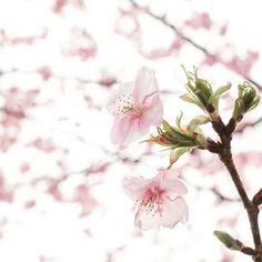 【mamama4652】さんのInstagramをピンしています。 《地元の美和桜を見てきました。  品種は河津桜です。  既に満開間近の木もありました。 去年の今頃はまだ数輪しか咲いてない事を思えば本場の河津桜同様に美和桜も今年は開花がかなり早いですね。  しかしキレイです。  #日本 #静岡県 #静岡市 #桜 #河津桜 #美和桜 #木 #花 #はなまっぷ #ピンク #桜が好き #olympus #japan #shizuoka #sakura #kawazuzakura  #Japanese cherry blossom tree #cherryblossom #cherryblossoms》