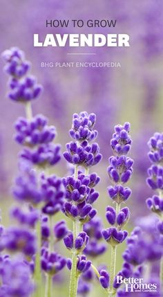 Learn how to grow fragrant lavender: http://www.bhg.com/gardening/plant-dictionary/herb/lavender/