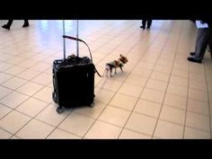 3 lb yorkie and his 30 lb carry on - This is guaranteed to be the cutest thing you've seen all day!