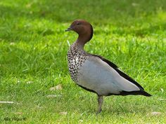 Australian Wood Duck or Maned Duck The most common bird in my garden. It spends most of the day out of water, eating new shoots of grass or, in my garden, new shoots of daffodil and tulip leaves.  They leave messy green piles behind wherever they have been