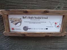 Bell's Angle-headed Lizard