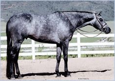 Only Blue Sky AQHA Stallion (he's 17 hands tall!)