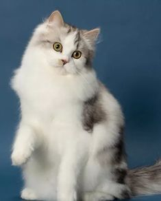 The RagaMuffin Breeders Society Breeders have RagaMuffin Kittens for Sale that are Scrumptious and Truly Addictive. See for yourself! Ragamuffin Kittens, Cute Cats And Kittens, Kitten For Sale, Cat Aesthetic, Domestic Cat, Cat Breeds, Cat Love, Fur Babies, Dog Cat
