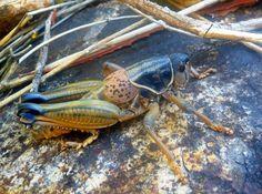 Super Cool Lubber Grasshopper I found in Big Bend. HUGE!