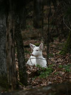 Albino white-tailed deer. By Caroline Blizzard