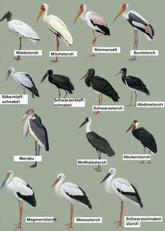 Types of storks - Tiere Birds In The Sky, Love Birds, Beautiful Birds, Beautiful Pictures, Types Of Animals, Animals And Pets, Bird Identification, Shorebirds, Wild Creatures