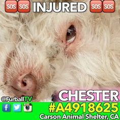 #SaveCHESTER - #A4918625 SHY, CUTE & INJURED-STRAY-⛔RESCUE ONLY⛔- Hidden in MEDICAL-❌EXTREMELY URGENT❌-In 2 DAYS on 02/11 - AVAILABLE 2/13  I'm not sure what happened with CHESTER but this injured CUTIE had some kind of heavy trauma (hit by a car?). He's in urgent need of help. He's currently RESCUE ONLY in his condition. Please spread the word about CHESTER, a foster or adopter would save his life  o #Terrier o AGE:4 year o Male o ARRIVED:2/9 o #CarsonShelter - 310-523-9566  o