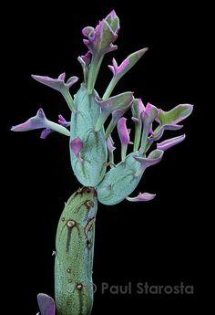Senecio articulatus