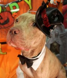 Volley (Couch Potato FOSTER) Pit Bull in Jersey City.