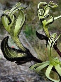The black kangaroo paw (Macropidia fuliginosa) is one of our most spectacular Australian native plants. Available Aug-Nov for goth weddings, halloween, or general fabulousness. Australian Native Garden, Australian Native Flowers, Australian Plants, Unusual Plants, Rare Plants, Exotic Plants, Unusual Flowers, Amazing Flowers, Plante Carnivore