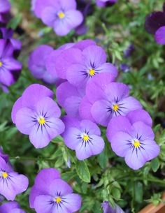 Violas- johnny jump-ups-lavender
