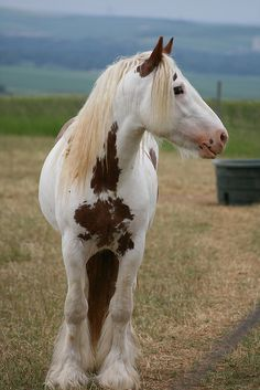 a medicine hat gypsy vanner....omg you will be mine one day!