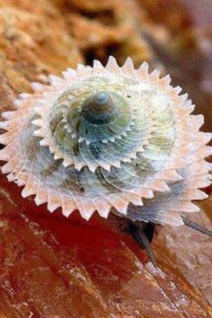 incredible shell