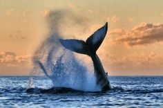 National Geographic Travel - A humpback whale does some showing off in Hawaii. Photo by Susan metz National Geographic Photo Contest, National Geographic Travel, Photo Animaliere, Concours Photo, Wale, Sky Sea, Widescreen Wallpaper, Desktop Wallpapers, Humpback Whale