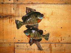 TWO BEAUTIFUL BLUEGILL TAXIDERMY FISH MOUNT WILDLIFE CABIN ART DECOR