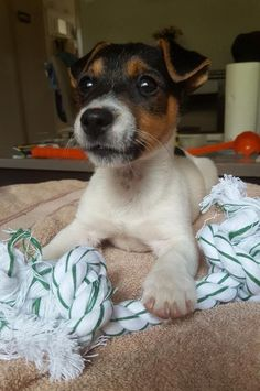 The Jack Russell Terrier Choice picture gallery contains hundreds of pictures selected by our staff as the best of the best Cute Puppies, Dogs And Puppies, Cute Dogs, Maltese Puppies, Jack Russell Puppies, Jack Russell Terrier, Rat Terrier Dogs, Terrier Mix, I Love Dogs