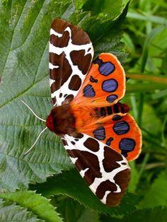 butterflies.quenalbertini: Garden Tiger Moth