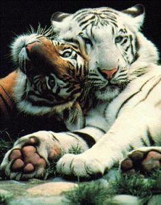 chats sauvages, espèces de tigres