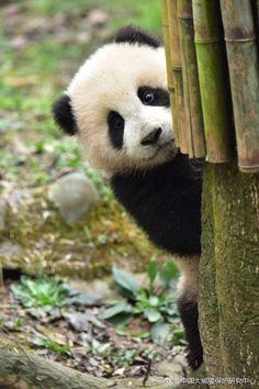 So in Love with Pandas! ♥ So in Love with Pandas! ♥ So in Love with Pandas! ♥ So in Love with Pandas! Photo Panda, Image Panda, Animals And Pets, Funny Animals, Panda Mignon, Baby Panda Bears, Baby Pandas, Giant Pandas, Red Pandas