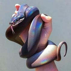 """18.9k Likes, 155 Comments - ➕ The Rogue + The Wolf ➕ (@rogueandwolf) on Instagram: """"Check out this incredible iridescent snake! We love him so much! Tag a serpent lover! ♥"""""""