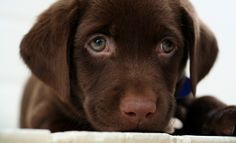 Chocolate Lab... LOVE the green eyes!