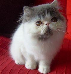 gattini: gatto persiano